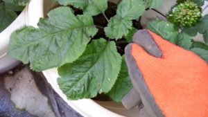 NY Resident Grows American Organic Ginseng in Pots – Video