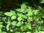 Fungicides – NC Ginseng & Goldenseal Company