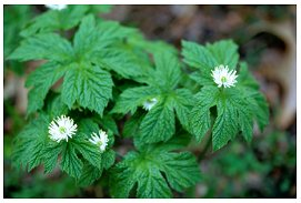 About Goldenseal – NC Ginseng & Goldenseal Company