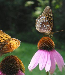 butterflies on echineacea