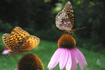 butterflies on echineacea